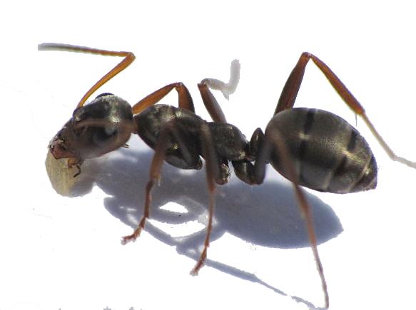 μαύρο μυρμήγκι χάπια σεξ κριτική