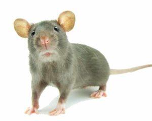 Hπατίτιδα Ε από ποντίκια