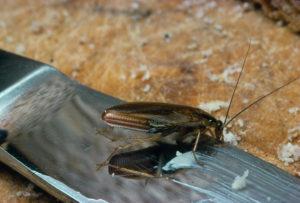 Γερμανική κατσαρίδα πάνω σε ένα μαχαίρι