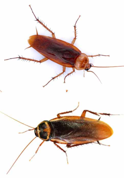 Απολύμανση για κατσαρίδες - Αμερικανική κατσαρίδα